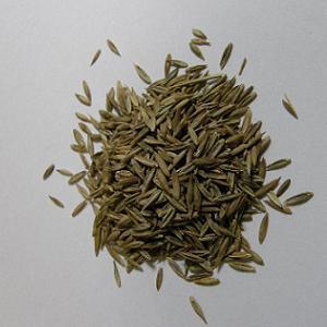 生牧草 トールフェスクの種