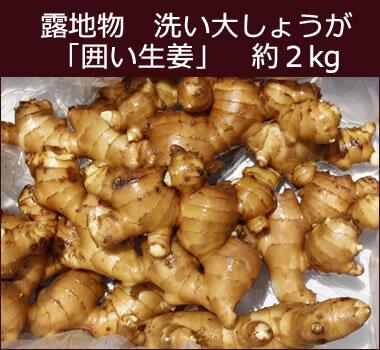 露地物洗い大しょうが(囲い生姜) 約2kg