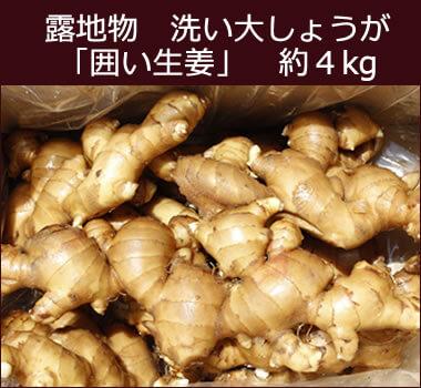 露地物洗い大しょうが(囲い生姜) 約4kg