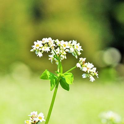 s_そばの花