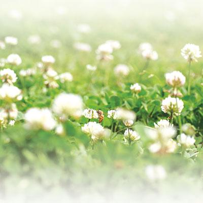 s_クローバーの花