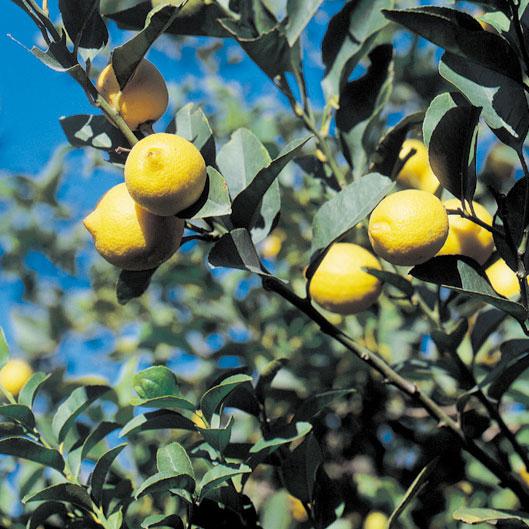 s_レモンの木