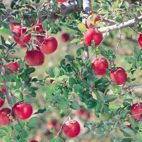 s_りんごの木