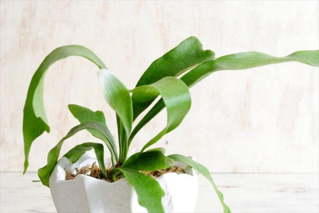 コウモリラン ビカクシダ 約3.5号 陶器鉢植え オランダPTMD社のセラミックポット 多肉植物 観葉植物