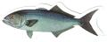 ONLY NY ''fish'' ステッカー 227