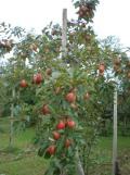 御所川原 赤~いりんご