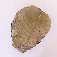 乾燥柏葉 50枚