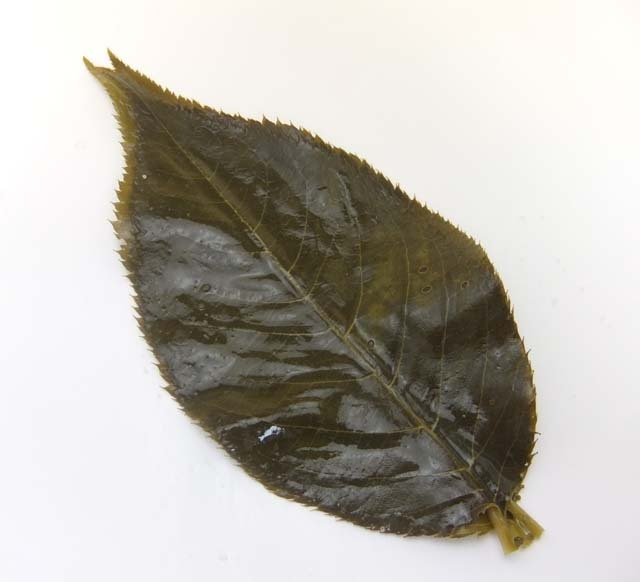 国産桜の葉の塩漬葉(MS) 50枚