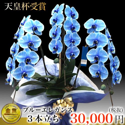 青い胡蝶蘭大輪3本立ち 「ブルーエレガンス」胡蝶蘭展で話題の胡蝶蘭