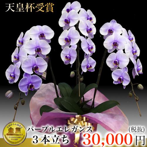 3本立ち大輪胡蝶蘭パープルエレガンス 紫色の蝶蘭