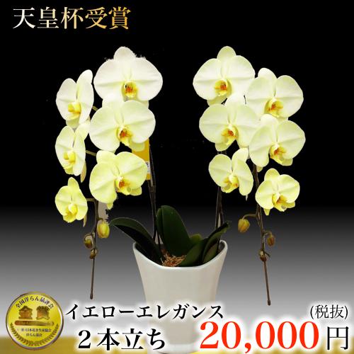 2本立ち大輪胡蝶蘭イエローエレガンス 黄色の胡蝶蘭