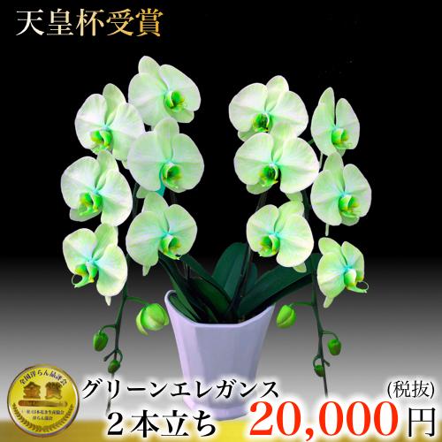 2本立ち大輪胡蝶蘭グリーンエレガンス 緑の蝶蘭