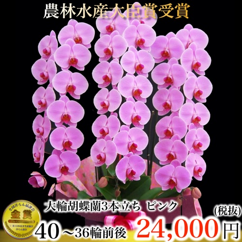 胡蝶蘭3本立ち36輪ピンク