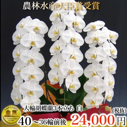 胡蝶蘭3本立ち36輪