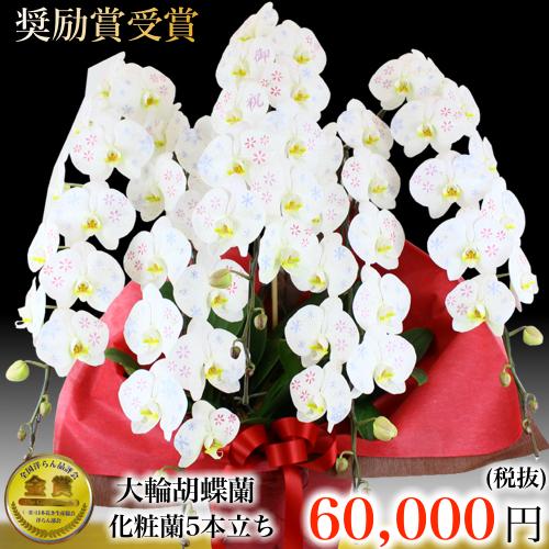 化粧蘭5本立ち大輪胡蝶蘭
