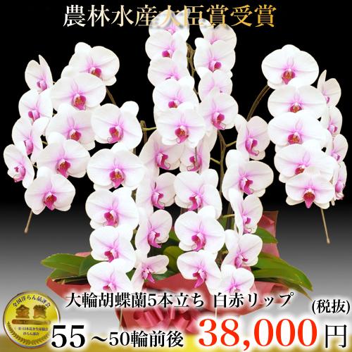 5本立ち大輪胡蝶蘭50輪白赤リップ