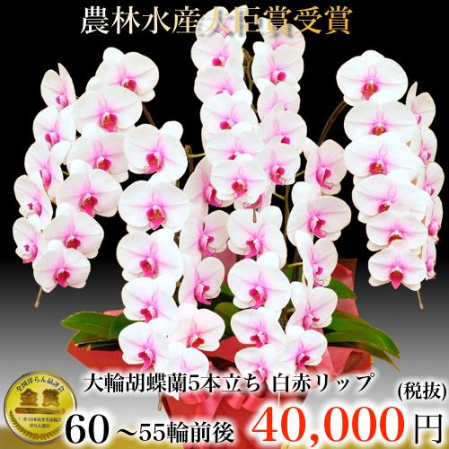 5本立ち大輪胡蝶蘭55輪白赤リップ