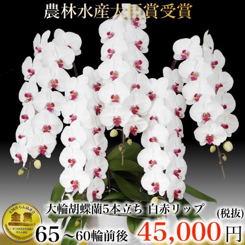 5本立ち大輪胡蝶蘭60輪白赤リップ