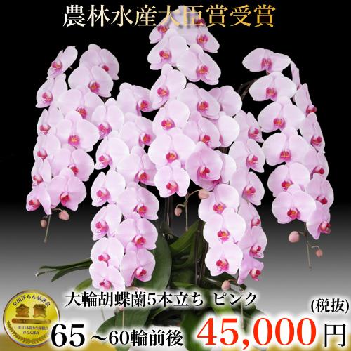 5本立ち大輪胡蝶蘭60輪ピンク