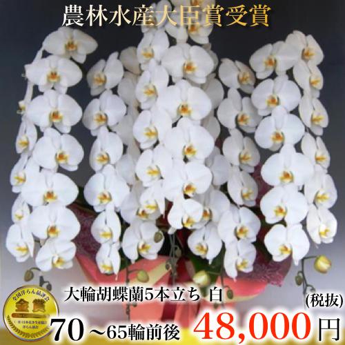 5本立ち大輪胡蝶蘭65輪白