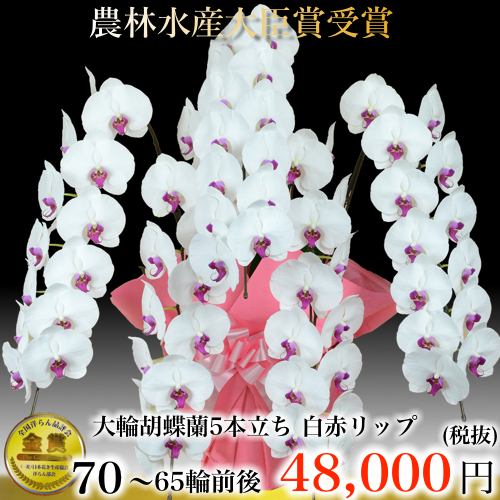 5本立ち大輪胡蝶蘭65輪白赤リップ