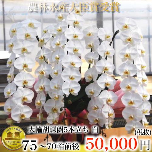 5本立ち大輪胡蝶蘭70輪白