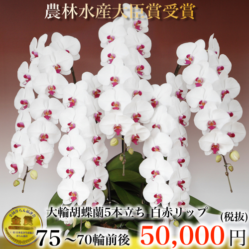 5本立ち大輪胡蝶蘭70輪白赤リップ