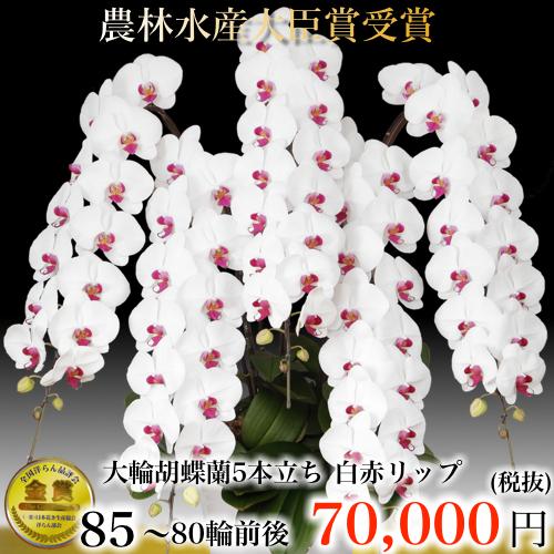 5本立ち大輪胡蝶蘭80輪白赤リップ