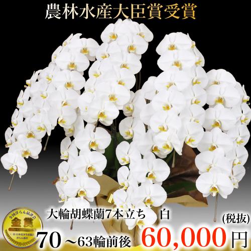 7本立ち大輪胡蝶蘭63輪白