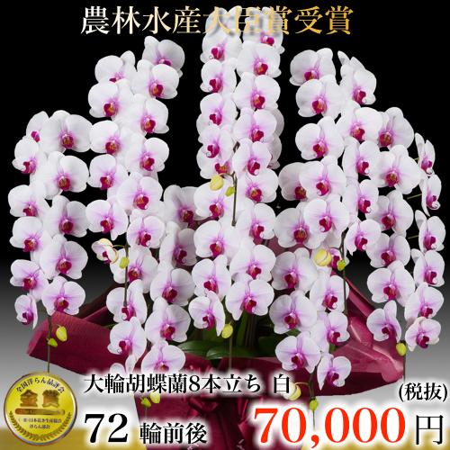 7本立ち大輪胡蝶蘭72輪ピンク