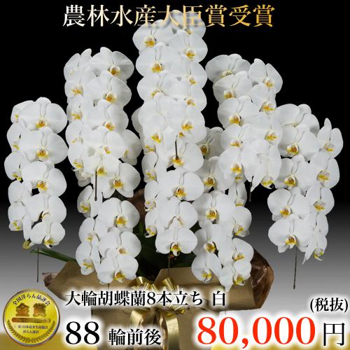 大輪胡蝶蘭8本立ち88輪白