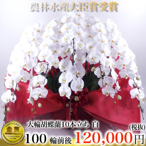 大輪胡蝶蘭10本立ち白