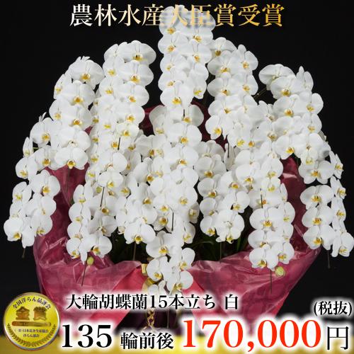 大輪胡蝶蘭15本立ち135輪白