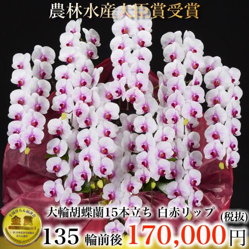 大輪胡蝶蘭15本立ち135輪白赤リップ
