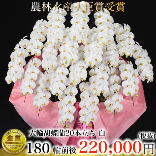大輪胡蝶蘭20本立ち180輪白