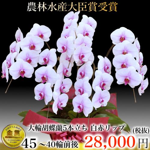 5本立ち大輪胡蝶蘭40輪白赤リップ
