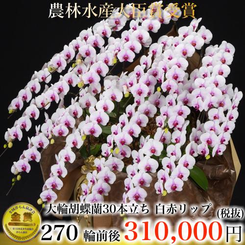 大輪胡蝶蘭30本立ち270輪白赤リップ