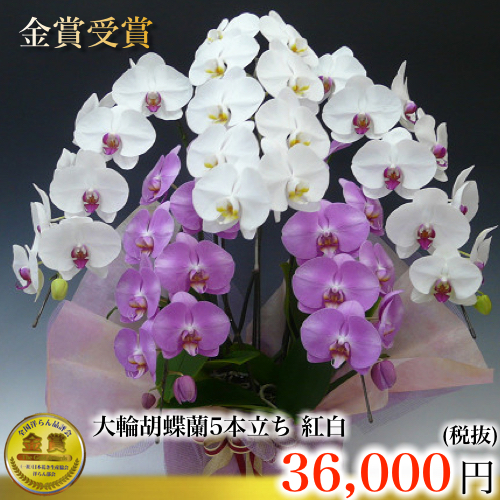 紅白胡蝶蘭5本立ち寄せ植え