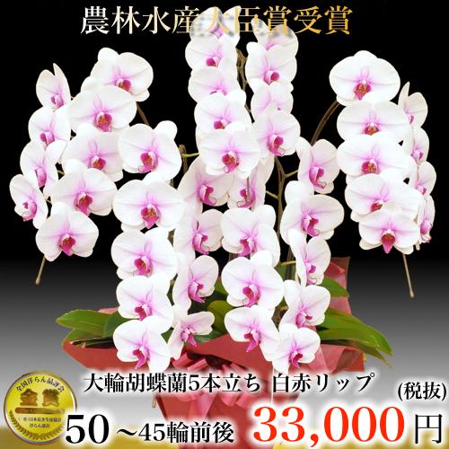 5本立ち大輪胡蝶蘭45輪白赤リップ