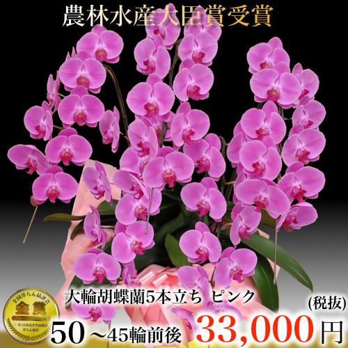 5本立ち大輪胡蝶蘭45輪ピンク