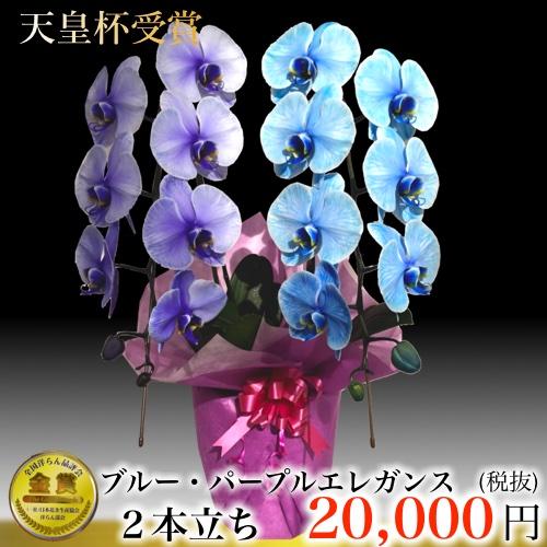 パープルブルーエレガンス 大輪胡蝶蘭2本立ち青と紫の胡蝶蘭