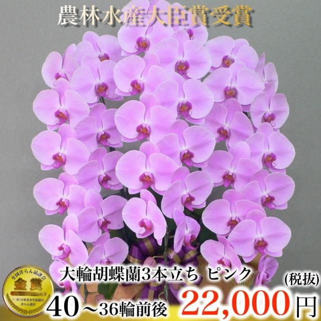胡蝶蘭3本36輪紫