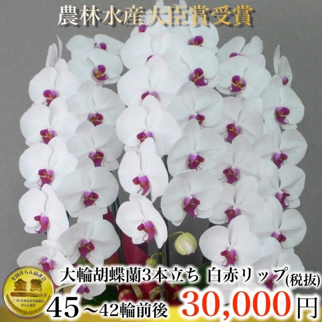 大輪胡蝶蘭3本立ち45輪から42輪白赤リップ