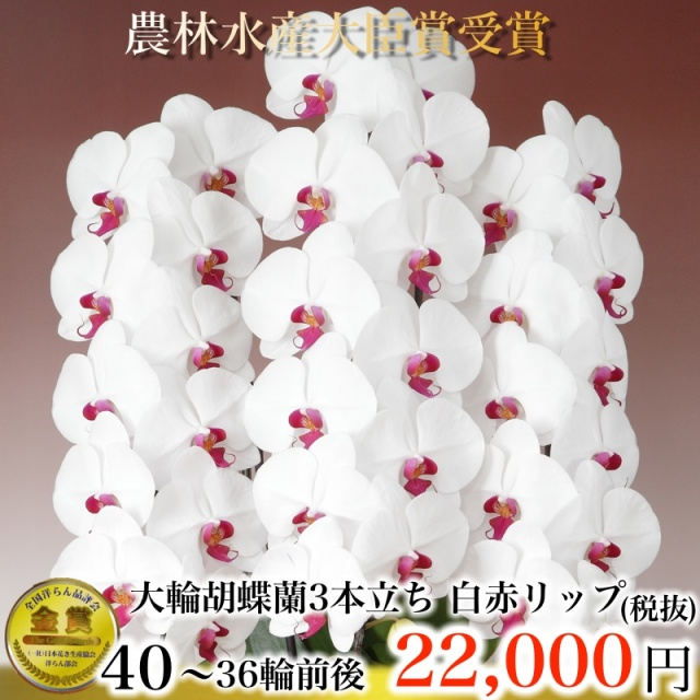 大輪胡蝶蘭3本立ち40輪から36輪白赤リップ