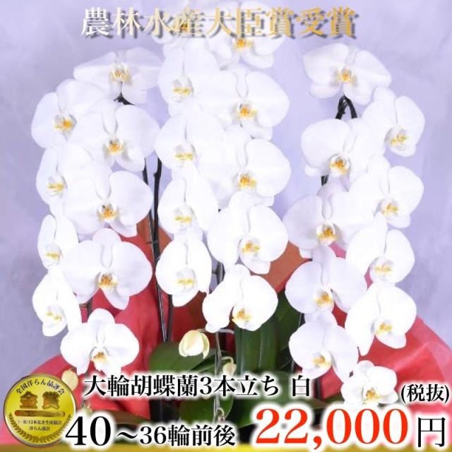 大輪胡蝶蘭3本立ち40輪から36輪白