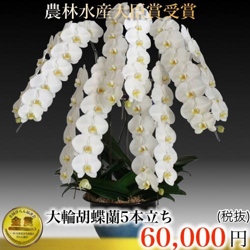 三坂園芸大輪70輪芸術的な胡蝶蘭