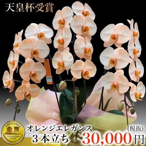 大輪3本立ちオレンジエレガンス オレンジ色の胡蝶蘭