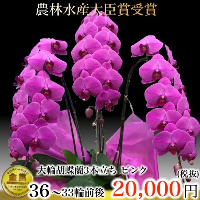 ピンク大輪胡蝶蘭3本立ち33輪
