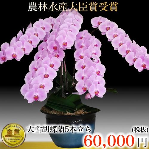 三坂園芸5本大輪胡蝶蘭70輪ピンク