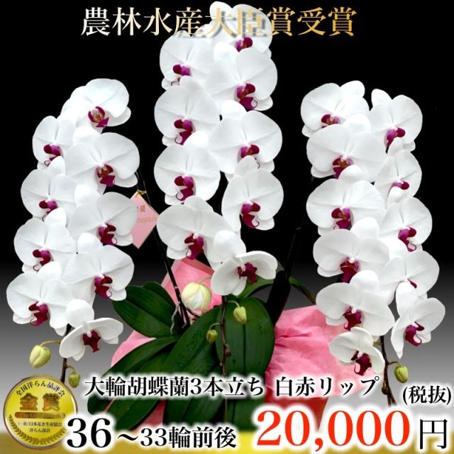 白赤リップ大輪胡蝶蘭3本立ち33輪